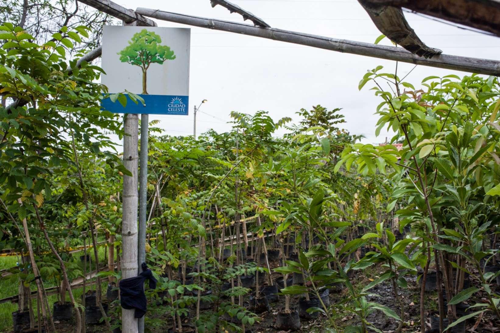 Las especies de árboles que reforestan Ciudad Celeste